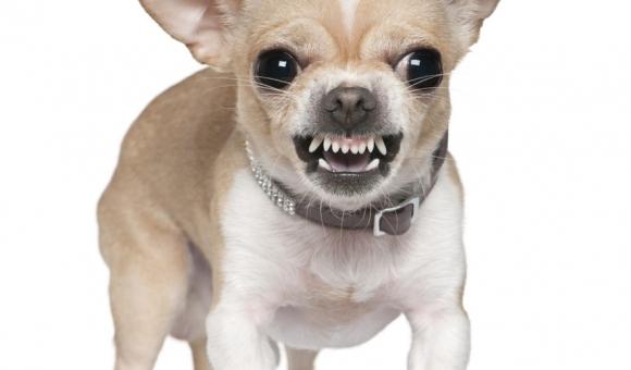Top 7 giống chó có nguy cơ dễ bị bệnh răng miệng